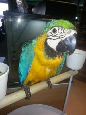 Hyacinth Macaw Parrots Now