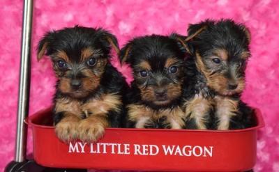 Beautiful Yorkie Puppy - BaBa