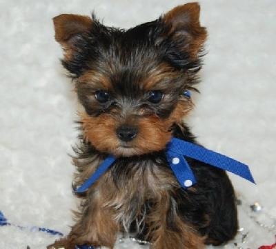 Teacup Yorkie Puppy for free adoption