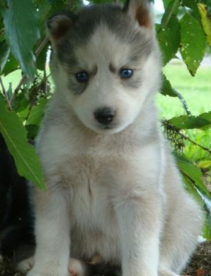 Blue Eye Siberian Husky Puppies
