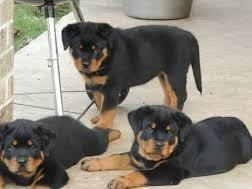 Registered Rottweiler Puppies For A New home