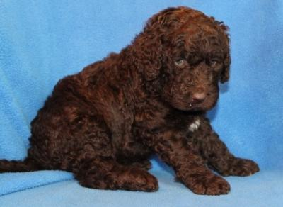 Friendly Labradoodle Puppies Available for Adoption TEXT to(302) 417-1065