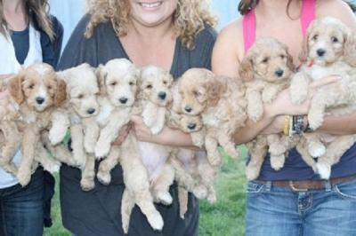 You Can't miss Boys and Girls Labradoodle Puppies ready for Adoption TEXT to (302) 417-1065