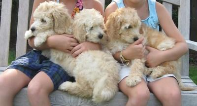We need a caring home for our fine Labradoodle Puppies TEXT to (302) 417-1065