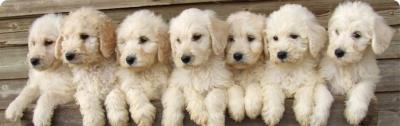 Caring re-home Family needed for our pretty Boys and Girls Labradoodle Puppies