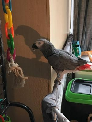 african grey parrot for sale in libya