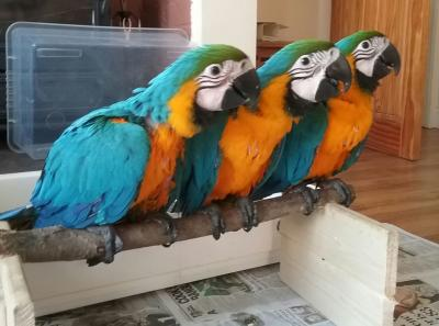 Healthy,trained and tamed parrots and Fertile Eggs