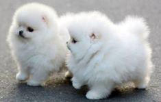cute pomeranian puppies for adoption