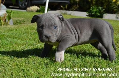 Best available online pitbull puppies for USA