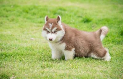 I have a white male Siberian/Alaskan husky.