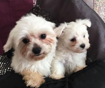 Gorgeous Maltese puppies Available for Adoption