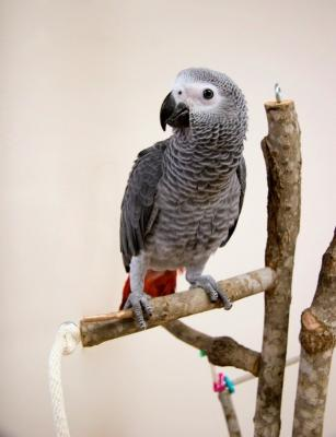 Available African Grey Parrots For Sale Text (724)