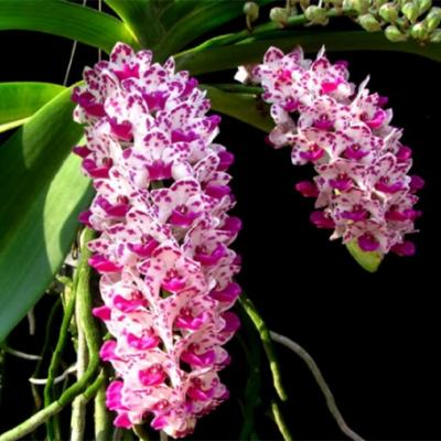 Orchid Varieties online Purchase