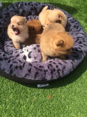 Truly Amazing Toy Pomeranian  Puppies for sale