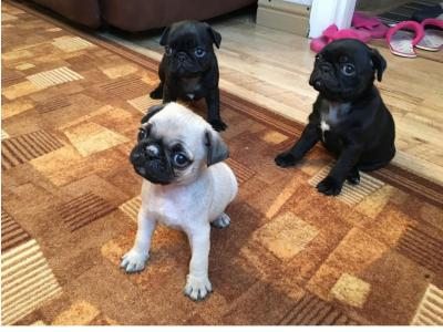 Quality French Pug Puppies for sale