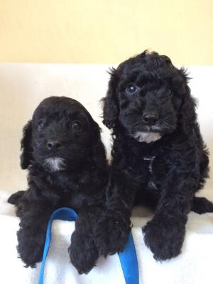 Beautiful Cavapoo puppies Available