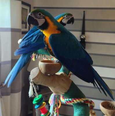 Free Classifieds In Birds for Sale Pets   Post Ads Without